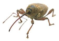 坚果象鼻虫的宏观照片,象鼻虫nucum隔绝在白色背景 免版税库存图片