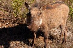 坚果婴孩-非洲野猪属africanus共同的warthog 免版税库存照片