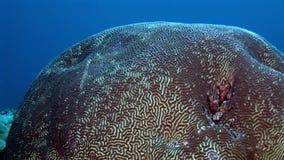 坚硬圆的珊瑚脑子以球水下的惊人的海底的形式在马尔代夫 影视素材