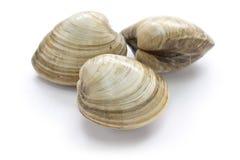 坚硬蛤蜊,蚌蛎 库存照片