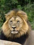 坚韧的狮子 免版税库存照片