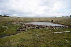水坝,架设由灌木的海狸分支,在火地群岛的无树木的部分 库存照片