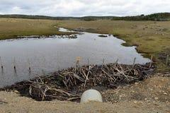 水坝,架设由灌木的海狸分支,在火地群岛的无树木的部分 库存图片