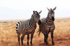坦桑尼亚的斑马 免版税库存图片