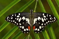 从坦桑尼亚的美丽的蝴蝶 柑橘swallowtail, Papilio demodocus,坐绿色叶子 昆虫在黑暗的热带前面 免版税库存图片