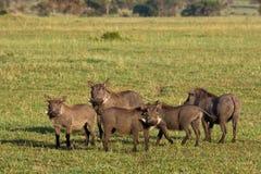 坦桑尼亚warthogs 免版税库存照片
