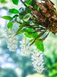 垂悬三个石斛兰属兰花的花盆  免版税图库摄影