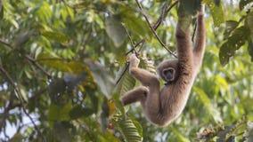 垂悬下来从树的家神长臂猿 免版税库存照片
