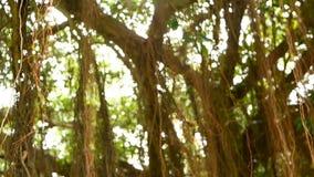 垂悬下来在阳光和风下的大印度榕树布朗长的气生根  绿色叶子用黄色果子和 影视素材