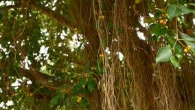 垂悬下来在阳光和风下的大印度榕树布朗长的气生根  绿色叶子用黄色果子和 股票视频