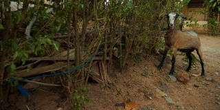 垂悬与一编织的傻的看起来的棕色山羊在灌木 免版税库存图片
