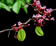 垂悬与花的金星果果子在黑背景 库存照片