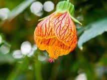 垂悬五颜六色的花的白麻hybridum中国灯笼 免版税图库摄影
