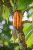 垂悬从一棵树的成熟可可粉在哥斯达黎加 库存图片