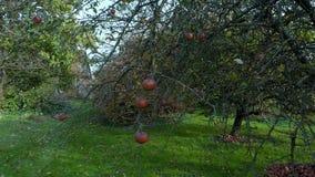 垂悬从分支的红色苹果在一个生态果树园 影视素材