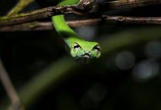 垂悬从分支的美丽的绿色藤蛇Ahaetulla nasuta看照相机 免版税库存图片
