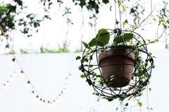 垂悬从天花板的泥罐的爬行物植物 免版税库存照片