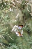 垂悬从开花的软的绿色树白色开花的两只美丽的白色和棕色蝴蝶  免版税库存图片