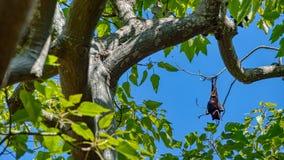 垂悬从树枝宽图象的果蝠、巨大棒或者棒 免版税库存照片