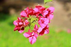 垂悬从树枝的一朵明亮的桃红色九重葛花 库存照片