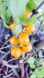垂悬从灌木的橙色无核小葡萄干 库存图片