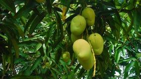 垂悬从父母树的芒果 免版税库存照片