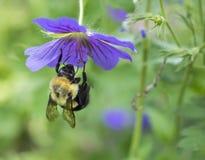 垂悬从花的土蜂 库存图片