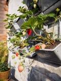 垂悬从草莓植物行的成熟和未成熟的草莓  库存照片