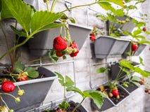 垂悬从草莓pla行的成熟和未成熟的草莓  免版税库存图片