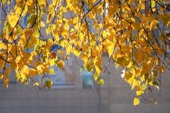 垂悬从顶面被日光照射了桦树分支与明亮的黄色l 库存照片