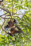 垂悬和战斗在树的果蝠 免版税库存照片