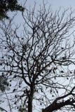 垂悬和睡觉在大树的棒 库存照片