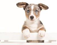 垂悬在一个白色条板箱的逗人喜爱的威尔士小狗小狗面对与蓝眼睛的照相机 免版税库存图片
