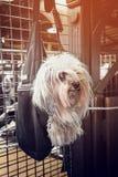 垂悬在一个黑暗的袋子的美丽的矮小的长发狗在等待大师的商店在一个晴天 免版税库存图片