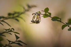 垂悬在一朵唯一花的蜂蜜蜂在晚上 免版税库存照片