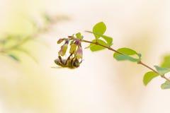 垂悬在一朵唯一花的蜂蜜蜂早晨 库存照片