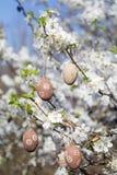 垂悬在一棵开花的樱桃树的分支的小米黄复活节彩蛋 免版税图库摄影