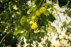 垂悬在一棵树的新鲜的绿色苹果在塞浦路斯 库存照片