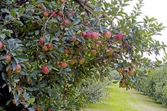 垂悬在一棵树的特写镜头红色苹果在果树园 免版税库存图片