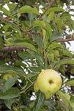 垂悬在一棵树的特写镜头黄色苹果在果树园 免版税库存图片