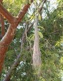 垂悬在一棵树的黄色飞过的酋长Cassiculus melanicterus巢在墨西哥 库存照片