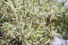 垂悬在一棵橄榄树的年轻绿橄榄分支 免版税库存图片