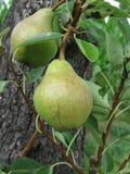 垂悬在一棵生长洋梨树的绿色梨 意大利托斯卡纳 免版税库存照片
