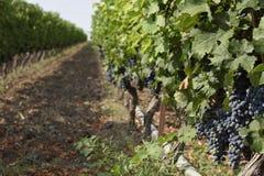 垂悬在一棵葡萄树的葡萄在一个葡萄围场 免版税库存照片