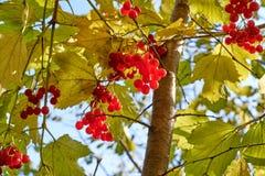 垂悬在与叶子的一棵树的荚莲属的植物莓果 免版税库存图片