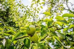 垂悬在与新鲜的绿色叶子的分支的梨 免版税库存照片