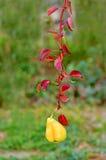 与红色叶子的垂悬的梨 免版税库存图片