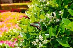 垂悬在与绿色的分支上的伟大的摩门教蝴蝶离开  库存照片