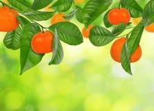 垂悬在中国柑桔树的普通话 图库摄影