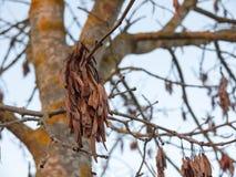 垂悬在光秃的分支秋天树的布朗死干燥叶子 库存照片